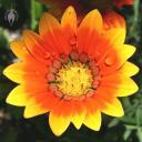 Gazania flower