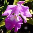 Sobralia macrantha flower