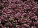 Heather flowers at Golden Gate Park