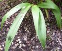 Spathoglottis leaves