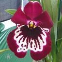 Miltonia flower