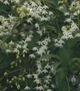 Dendrobium flowers - white form