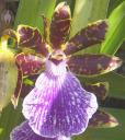 Zygopetalum flower