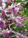 Antelope Dendrobium flowers