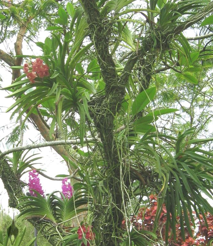 White Orchid Flower Growing On Tamarin Tree as well Leopard Lily moreover Tags vanilla Plant p 1 besides Yucca Guatemalensis also PlantHealth. on growing orchids outside