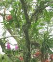 Vanda orchids growing in a tree