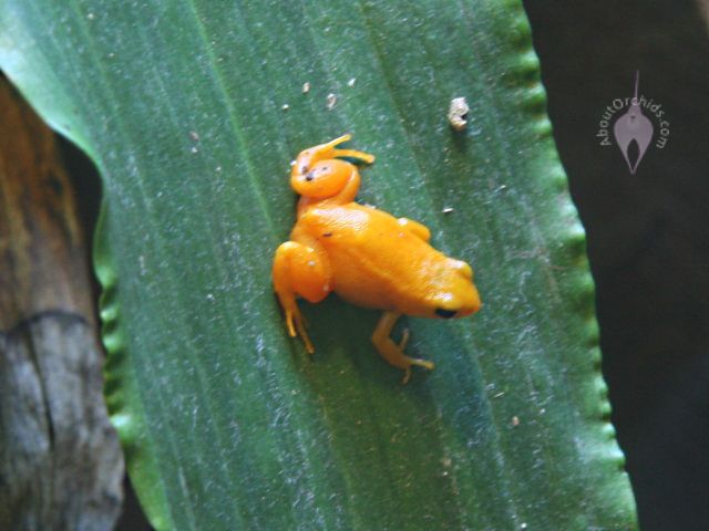 Golden dart frog habitat - photo#19