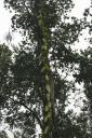 Vanilla vine growing up a tree in Hawaii