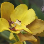 Cyrtochilum flower side view