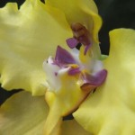Cyrtochilum flower close up