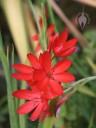 Hesperanthes flowers