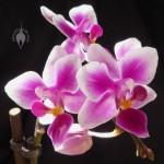 Mini Phal flowers