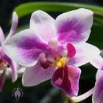 Mini moth orchid