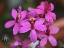 Purple Epidendrum flowers