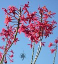 Red Epidendrum flowers
