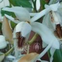 Coelogyne flower