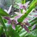 Encyclia flowers