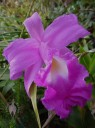 Sobralia flower