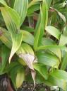 Sobralia macrantha plant