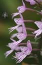 Stenoglottis flowers side view