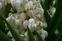 Yucca flowers and leaves