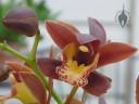 Cymbidium flower and unopened bud