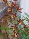 Cymbidium flowers