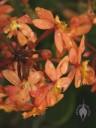 Orange Epidendrum flowers