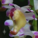 Aerides flower close up