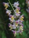 Aerides flowers