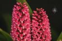 Arpophyllum flower spikes