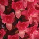 Arpophyllum flowers close up