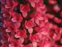 Arpophyllum flowers
