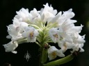 Neobenthamia flowers