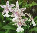 Odontoglossum flowers
