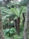 Tree Ferns in Golden Gate Park