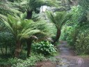 Tree Ferns along path