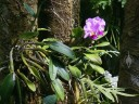 Cattleya blooming in a tree