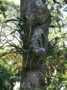 Cattleya hybrids in tree