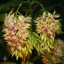 Dendrobium flowers and buds
