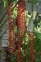 Very long flowers of a Colombian Heliconia