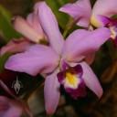 Laelia flower