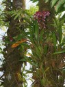 Oncidium hybrid blooming in tree