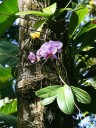 Phalaenopsis blooming in tree