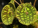 Lepanthes leaves with tiny flowers