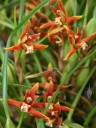 Orange color form of Maxillaria