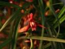 Maxillaria flower hidden in its long, skinny leaves