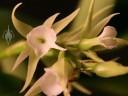 Oeoniella flowers