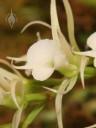 Oeoniella flower