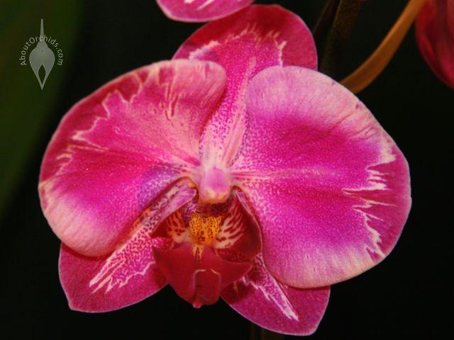 Moth Orchid Phalaenopsis Hybrid Winter Flower Epyphytic Houseplant Pink January Exotic Garden Plant